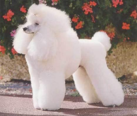 Hondenkeuring poedel in leeuwenmodel