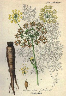 Duivelsdrek bloemen, zaden en wortel