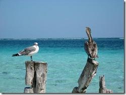 Mouette et Pelican devant la Barriere de Corail